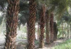 中东海枣杆高3米批发价格800