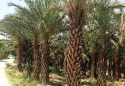 供应优质银海枣景观树