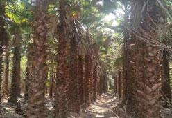 供应杆高5米老人葵大树