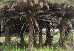 供应精品银海枣大树