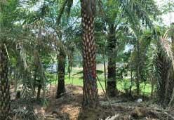 4米高中东海枣价格 米径40厘米