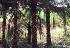 棕榈科植物中东海枣杆高5米