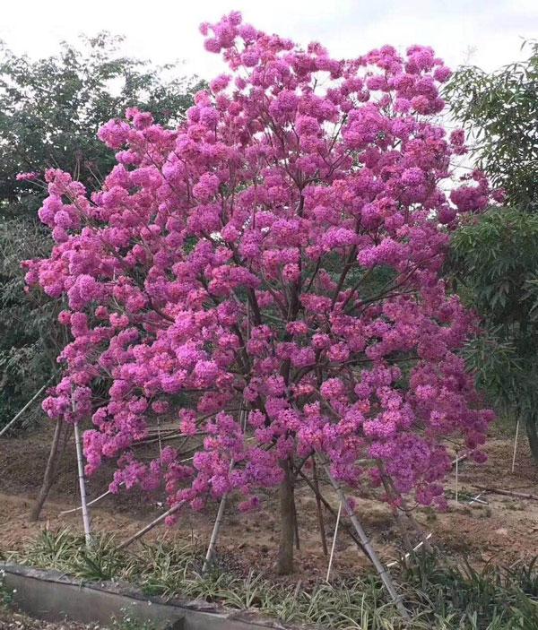 紫花风铃木基地